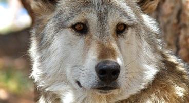 'Twee wolven